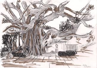 Ficus en el Baluarte de la Candeleria, Cadiz